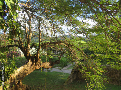 Incredible tropical garden with a century-old tree and lush vegetation. Idyllic Caribbean landscape.