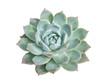 Miniature succulent plants (succulent cactus) isolated on white