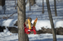 Squirrel By Sweetcorn On Tree Trunk During Winter