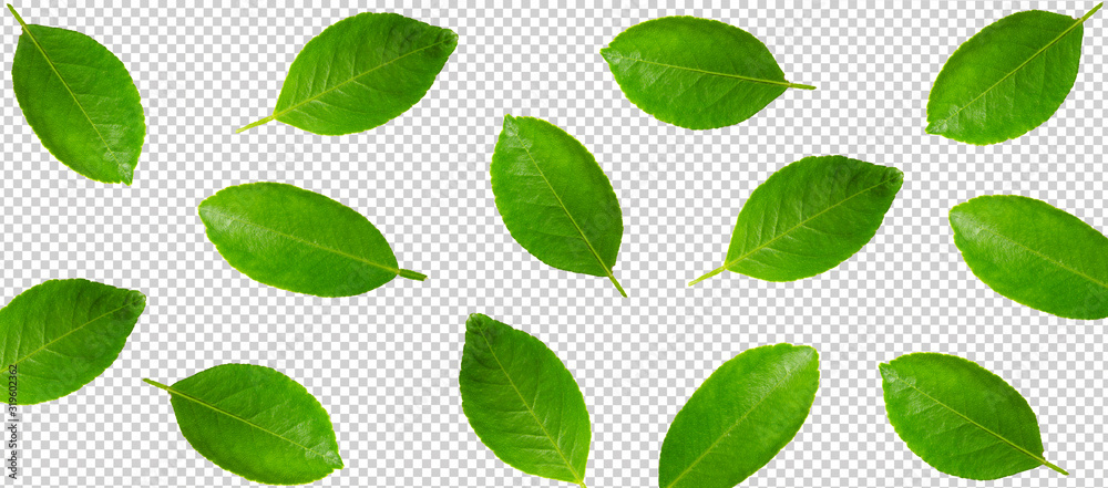Minimal flat lay leaf of lemon or lime isolated with clipping path on transparent background. art design, Pattern with ripe creative summer concept. full leaf of lemon or lime style
