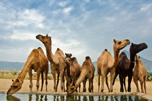 Camels Standing Against Sky