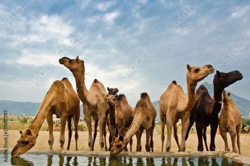 Fotografia, Obraz Camels Standing Against Sky