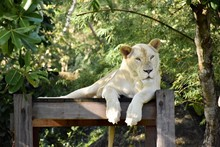Lioness Sitting On Wood In Forest