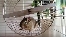 Close-Up Of Hamster On Treadmi...