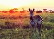 ZEBRA ON GRASSY FIELD AGAINST SKY