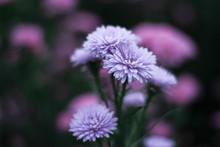 Blooming Verbena. Beautiful Fl...