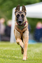 CLOSE-UP OF DOG RUNNING ON GRASSY FIELD