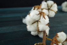 Raw Cotton Bolls Growing On Th...