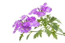 Verbena Flower Isolated