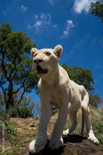 Fotografia, Obraz Lion On Rock At Grassy Field Against Sky