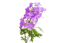 Verbena Flower Isolated