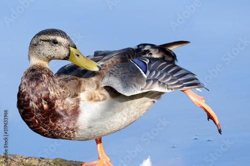 Valokuvatapetti Close-Up Of Mallard Duck Standing By Lake