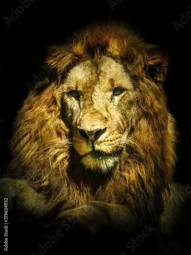 Fotografía Close-Up Portrait Of Lion
