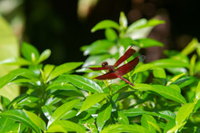 Male Eastern Amberwing (Perith...