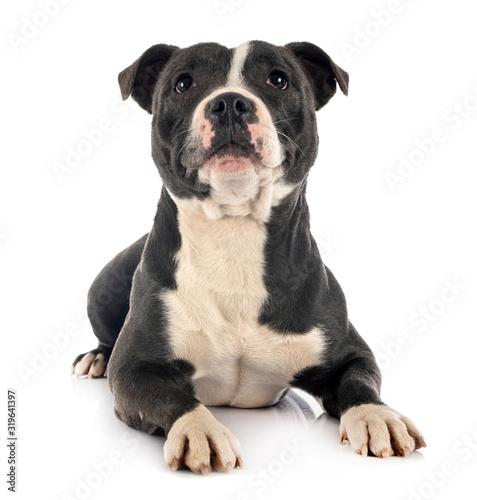 Tableau sur Toile staffordshire bull terrier