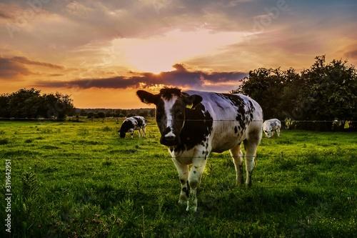 Papel de parede COWS GRAZING ON GRASSY FIELD