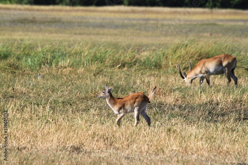 Gazelle and antelope group in the bush Canvas Print