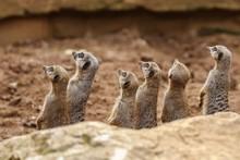 Side View Of Meerkats Looking Up
