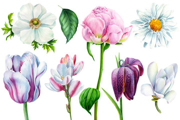 set of spring flowers, tulip, peony, anemone, chamomile, magnolia, fritillaria on an isolated white background, watercolor painting, botanical illustration