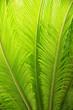 Leinwanddruck Bild - bright green palm leaf background