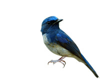 Amazed Hainan Blue Flycatcher ...