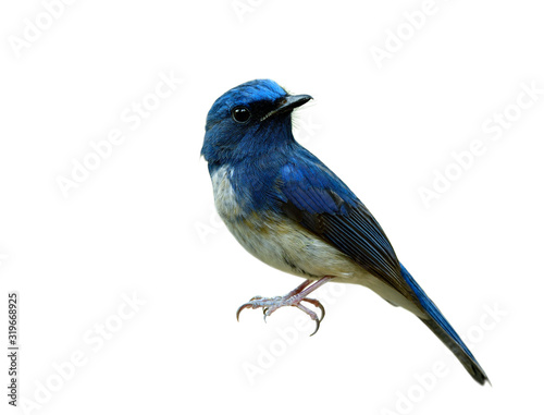 Amazed Hainan blue flycatcher (Cyornis hainanus) beautiful bird isolated over white background detail from beak mustache face eye nect body wing tail legs and feet Fotomurales