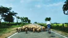 Rear View Of Man With Cattle Walking On Road