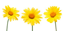 Three Yellow Chrysanthemum Blo...