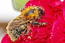 Close-Up Of Honey Bee On Red Flower