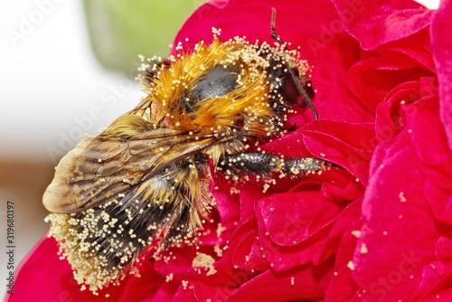 Fotografija Close-Up Of Honey Bee On Red Flower