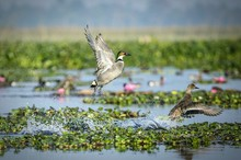 Ducks Flying Over Lake