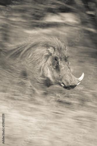 Fototapety, obrazy: Blurred Motion Of Warthog On Field