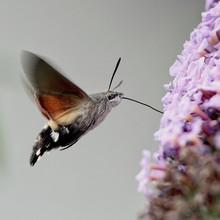 Close-Up Of Hummingbird Hawk-Moth Pollinating On Purple Flowers
