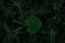 Dark Green Texture Of Leaves A...