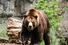 Portrait Of Grizzly Bear In Fo...