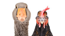 Portrait Of A Goose And Chicke...
