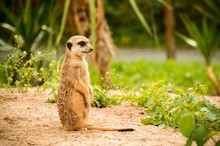 The Meerkat Looks Out For Thre...
