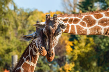 Two Giraffes Rub Their Heads O...