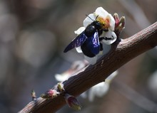 Close-Up Of Carpenter Bee On F...