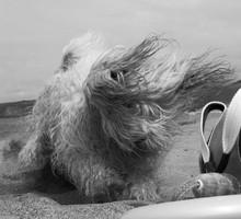 Hairy Dog On Beach