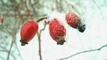 Close-Up Of Frozen Rose Hips