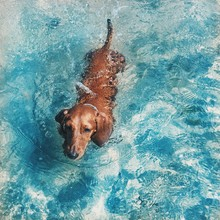 Swimming Dachshund  Dog In A Clear  Blue Water