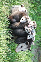 CUTE POSSUM FAMILY
