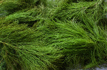 Green Background Of Horsetail. Horsetail Field