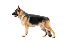 German Shepherd Stand Isolated On A White Background.