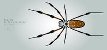 Vector Illustration Of Big Spider. Nephila Golden Orb Weaver.
