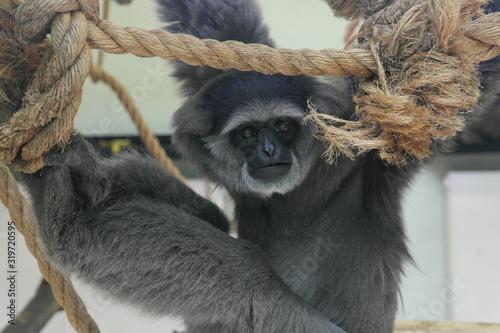 Photo Gibbon cendré