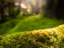 Lush Green Moss Forest With Ol...