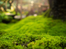 Lush Green Moss Forest With Old Tree With Moss. Background
