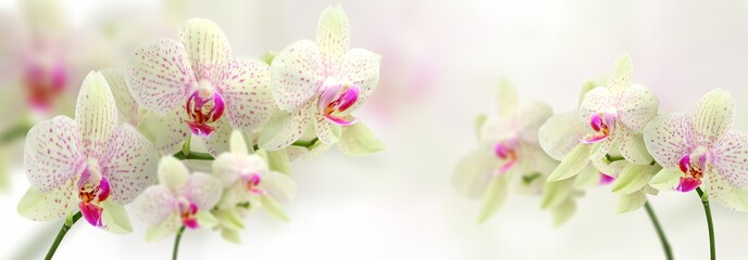 Panel Szklany Storczyki vintage color orchids in soft color and blur style for background